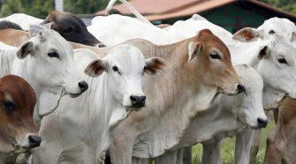 Produção de carne bovina no Brasil deve apresentar queda em 2021
