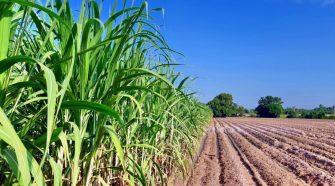 Conab divulga primeiro boletim da safra de cana-de-açúcar 2021/2022