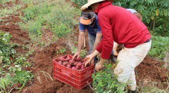 Produtores desafiam tradições no cultivo de batata-doce